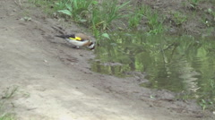 Puddle on the road, goldfinches Stock Footage