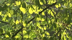 Green boughs of the chestnut trees in the rain Stock Footage