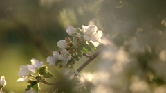 apple flower in the sun.  - stock footage