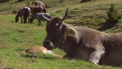 Cattle grazing in a field. Cows and calf on pasture. Stock Footage