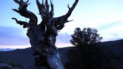 4K 3 Axis Motion Control Time Lapse of Ancient Bristlecone Pine Tree at Dusk Stock Footage