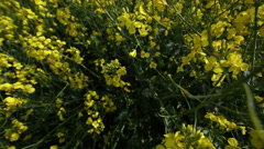 Panning through yellow flower crop fields Stock Footage