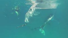 Whale Shark in ocean Stock Footage
