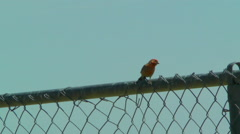 A House Finch Stands on a Chain-linked Fence Stock Footage