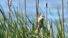 Bird in the reeds Stock Footage
