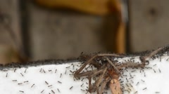 Ants capture spider - stock footage