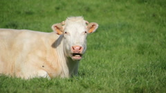 Cow lying and ruminating Stock Footage