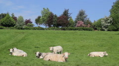 Group of cows lying and ruminating Stock Footage