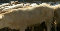 Brown calves in barn Stock Footage