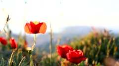 Poppies field wind Stock Footage