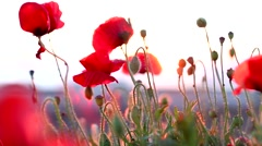 Poppies sunset Stock Footage
