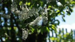 Bird cherry tree branch with amazing pink blossom  waving on light wind Stock Footage