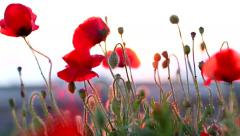 Poppies red Stock Footage