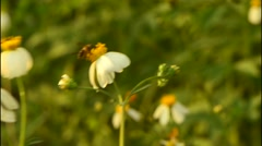 Honey hunter bees collecting nectar from wild flower. Stock Footage
