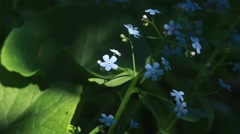 blue forget me not in the nature - stock footage