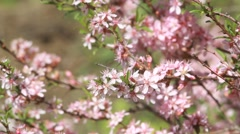 An almond bush with pink blossoms, trembling in the spring wind. - stock footage