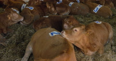 Brown calves in barn Stock Footage