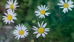 Beautiful field of daisies swaying in the wind. Summer Macro shooting. Stock Footage