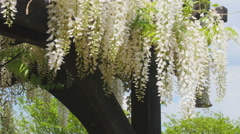 White Wisteria Flowers Stock Footage