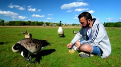 Man feeding gooses in a park. Egyptian goose. Canada goose. Stock Footage