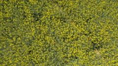 Aerial, vertical - Rapeseed crop Stock Footage