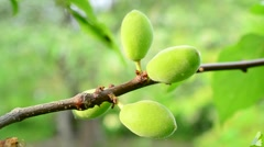 Close-up of unripe green apricot tree fruits blown by wind Stock Footage