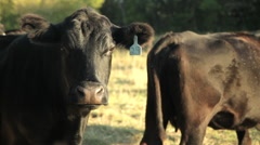Cow tagged , close up Stock Footage