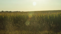 Sun bursts upon a Green Harvest of Corn - stock footage