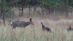 Curious Mule Deer Fawn Approaches Wild Turkeys Stock Footage