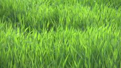 Grass on the field, windy. Slow motion Stock Footage