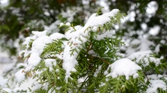 Snow falling on evergreen thuja branch blown by wind - stock footage