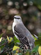 I See You - Northern Mockingbird with Head Turned to Look at Camera - stock photo