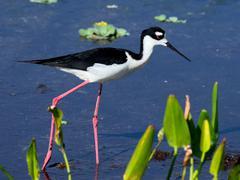 Black-necked Stilt Florida Weltands - stock photo