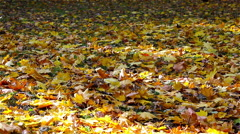 Maple leaves in the park on land Stock Footage