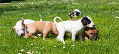 Mixed-breed cute little puppies on grass. - stock photo