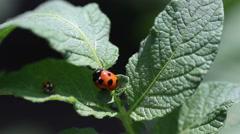 Ladybugs fighting Stock Footage