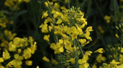Close up sliding view across flower crops Stock Footage
