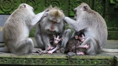 Video 1920x1080 Monkey family at sacred monkey forest. Ubud, Bali, Indonesia - stock footage
