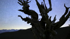 3 Axis Motion Control Astro Time Lapse of Ancient Bristlecone Pine Tree Close Up Stock Footage