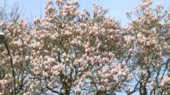 Magnolia tree blossom Stock Footage