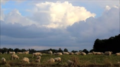 Sheep grazing  on dike, background blue sky with clouds Stock Footage
