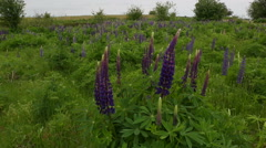 Lupines Camera Move Stock Footage