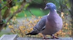 Closeup dove feeding, wood pigeon Stock Footage