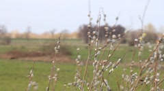 willow catkin in the nature - stock footage