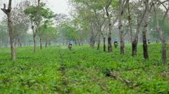 Pesticide being sprayed over tea leaves in Assam Tea garden Stock Footage