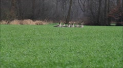 Wild geese flying away from a green field Stock Footage