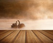 Touching romantic scene of mated pair of swans on foggy misty lake with woode Stock Photos