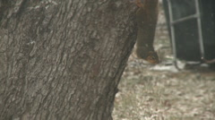 Squirrel Hangs in the Snow Stock Footage