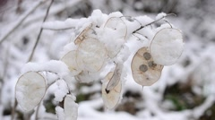 Snow falls in winter on beautiful snowy lunaria seedpods Stock Footage