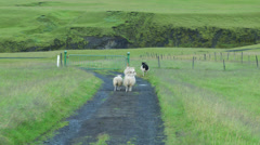 Rural Icelandic Farm with Sheep Stock Footage